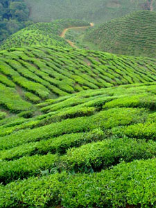 Indian Tea Plantation