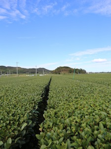 Beautiful tea field in Kagoshima, Japan
