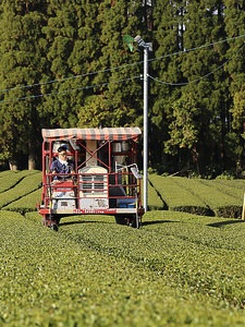 Negotiating the tea landscape.