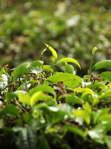 Tea harvests heavily depend on favorable weather.