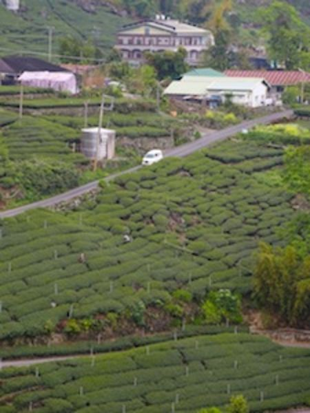 High Mountain Tea Garden in Taiwan